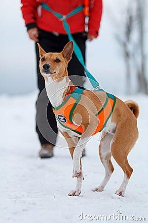 Basenjis dog in winter