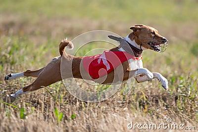 Basenjis dogcoursing