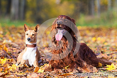 Basenjis and irish setter