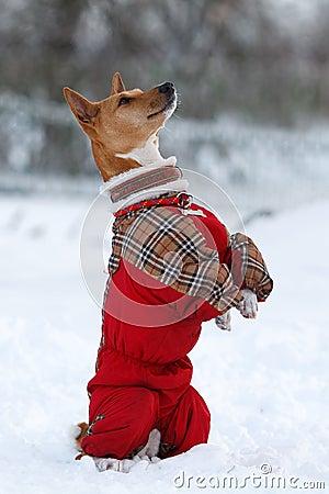 Basenjis pies