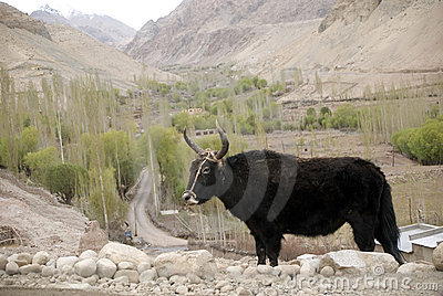 Basgo印度ladakh牦牛
