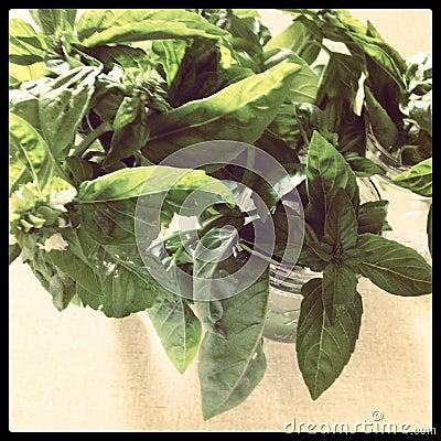 Basil cuttings in jars
