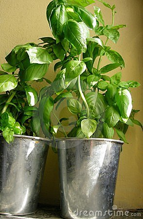 Basil fresh herbs in pots