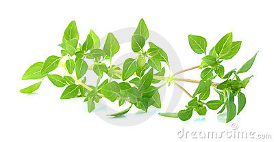 Basil fresh leaves