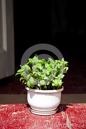 Basil Herbs in Clay Planter