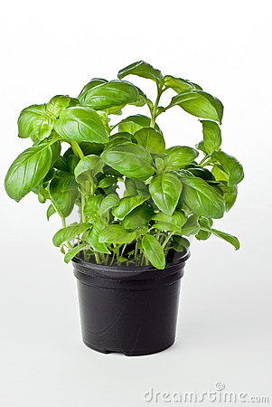 Free Basil In Pot Stock Photography - 16679552