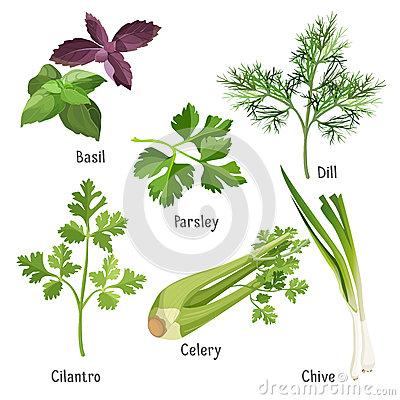 Basil, parsley and dill, fresh cilantro, stem of chive, celery Vector Illustration