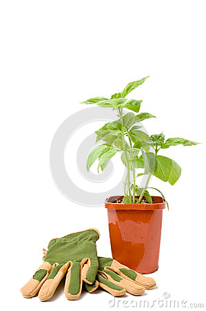 Basil plant with gloves