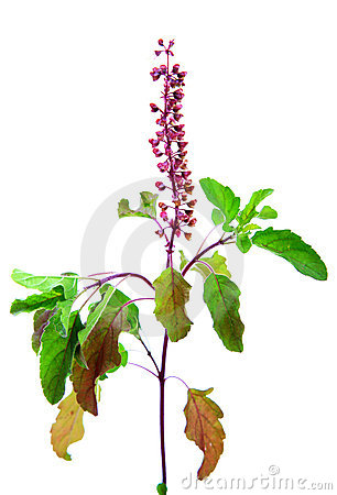 Basil tulasi flower and leaves