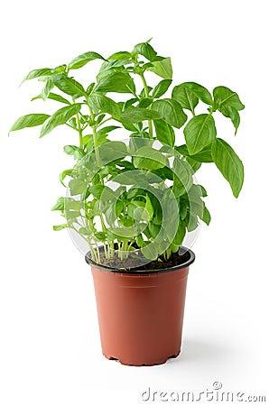 basilic frais dans le pot de fleurs photo stock image