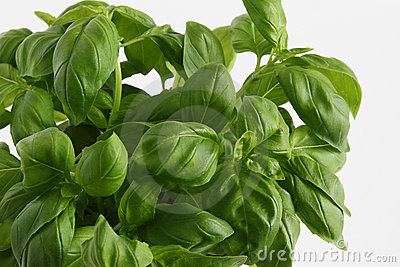 Basilu basilicum ocimum roślina