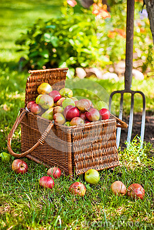 Basket of apples with pitchfork