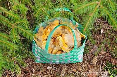 Basket of chanterelles.