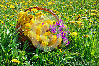 Basket with dandelions and violets on the grass