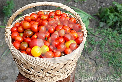 Basket full with cherry tomatoes