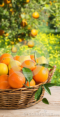 Free Basket Full Of Oranges And Lemons In Garden Royalty Free Stock Photo - 40709805