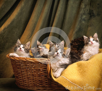 Basket of mainecoon kittens