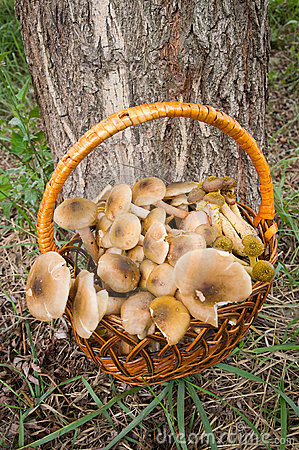 Basket with mushrooms edible.