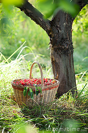 Free Basket Of Cherries Stock Photos - 20435763