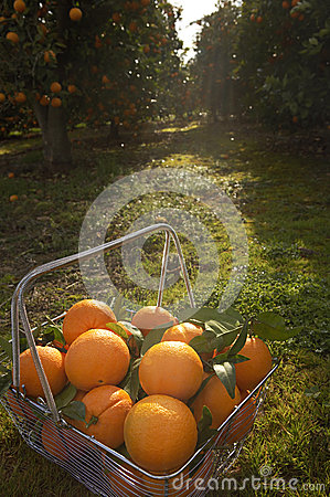 Free Basket Of Oranges In Grove Stock Photos - 24877533