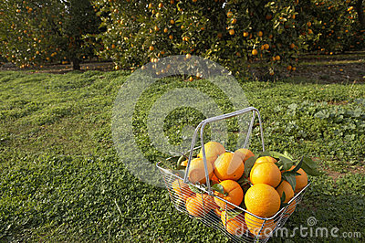 Basket of Oranges in Grove