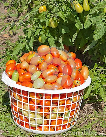 Basket of Plum Tomatoes