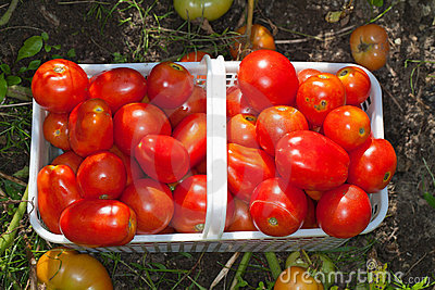 Basket of Ripe Field Tomatoes