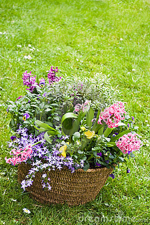 Basket with spring flowers in the garden