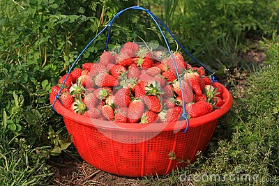 A Basket Of Strawberries Royalty Free Stock Images - Image: 13621209