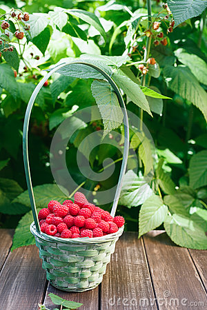Free Basket With Raspberries Near Bush On Wooden Table In Garden Stock Image - 93808771