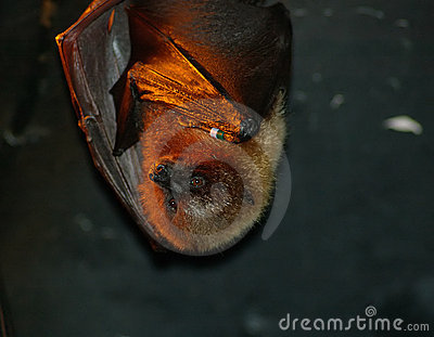 Basking Bat