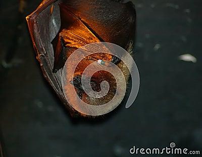 Basking Bat