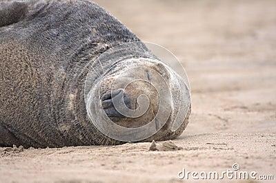 Basking grey seal