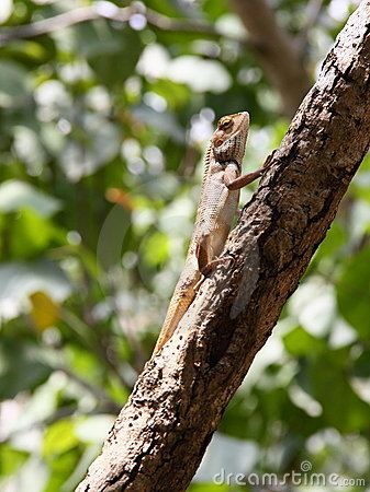 Basking Oriental Garden Lizard on branch