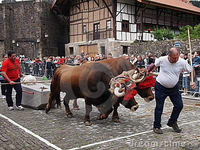 Basque rural sports - Idi probak (oxen tests) Editorial Stock Image