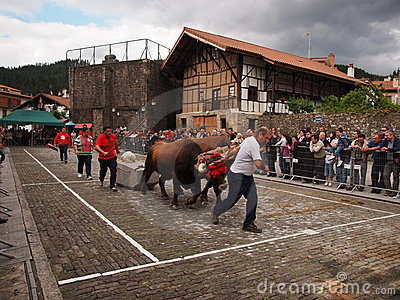 Basque rural sports - Idi probak (oxen tests) Editorial Photo