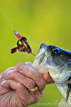 Bass caught on hook
