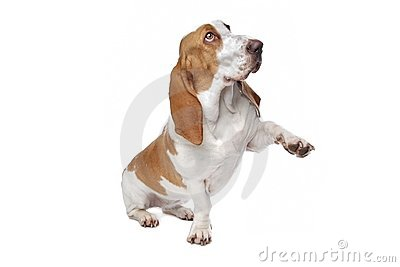Basset dog holding out paw