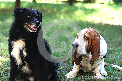 Basset hond en vriend