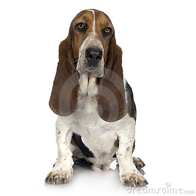 Free Basset Hound Royalty Free Stock Photography - 2771967