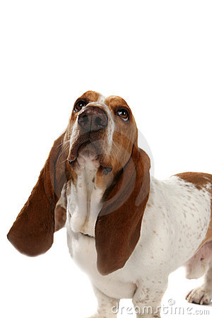 Basset hound with big long ears