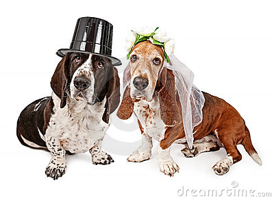 Basset Hound Bride and Groom