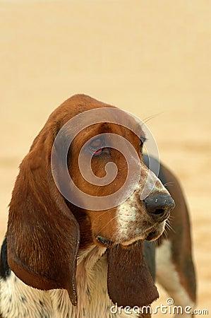 Free Basset Hound Dog Portrait Royalty Free Stock Photos - 1915188