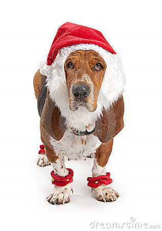 Basset Hound Dog Wearing Santa Outfit