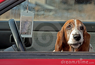 Basset Hound Funny Face