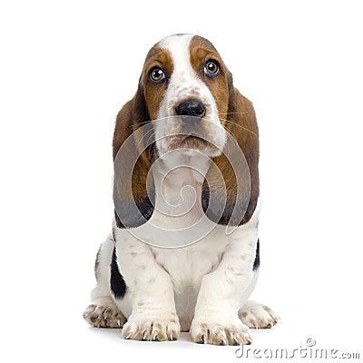 Free Basset Hound Puppy Stock Image - 2244561