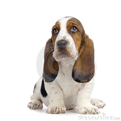 Free Basset Hound Puppy Royalty Free Stock Photos - 2313238