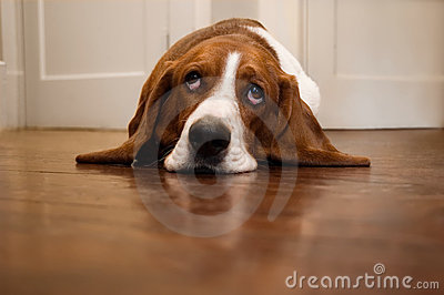 Basset hound rolling its eyes