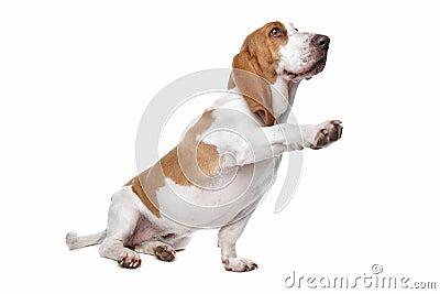 Basset hound shaking paw