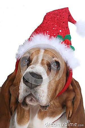 Basset Hound wearing a Santa hat